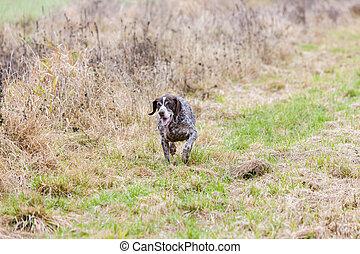 running hunting dog