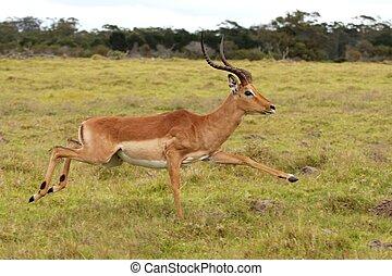 Running Impala Antelope - Impala male antelope running fast...