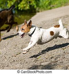 Running Jack russell terrier Dog - A Jack Russell Terrier...