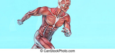 running., mâle, système, musculaire
