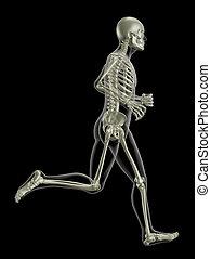 Running medical skeleton - 3D render of a medical skeleton...