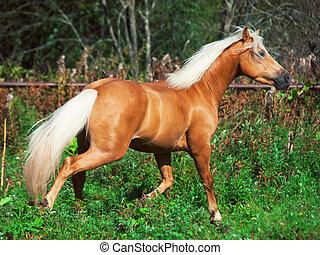 running palomino horse in paddock