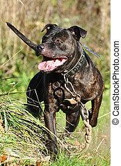 running purebred rottweiler in a field