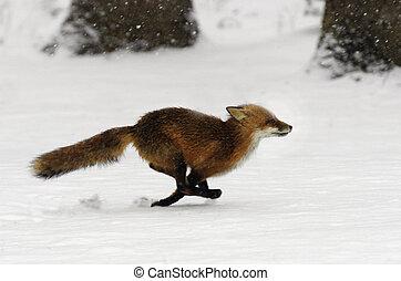 Running Red Fox - Red fox running through freshly fallen...