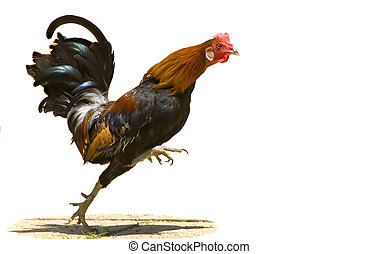 Running Rooster - A red rooster running quickly