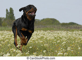 running rottweiler - running purebred rottweiler in a field ...
