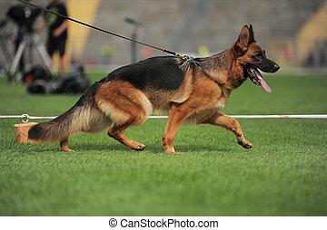 Running shepherd dog in stadium
