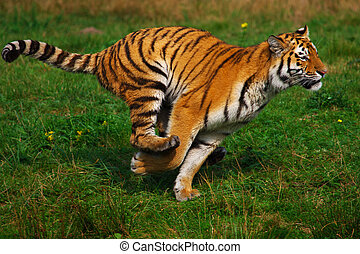 Running Siberian Tiger - Out of the water coming Siberian...