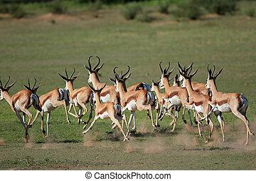 Running springbok antelopes