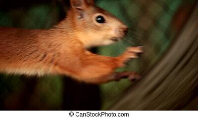 Running squirrel - Squirrel hard runs in the wheel. Motion...