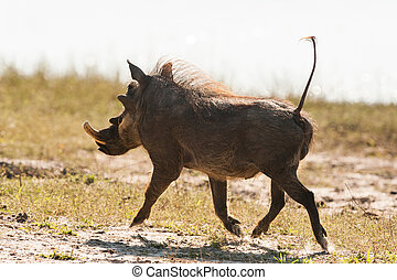Running warthog (Phacochoerus africanus) up close in...