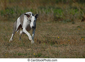 running purebred whippet dog in a field in autumn