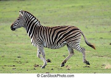 Running Wild Zebra - Large male Burchells zebra running...