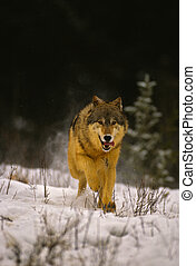 Running Wolf - a wolf running straight at camera in snow