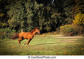 Running young brown horse in autumn