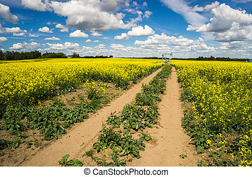 Rural Alberta - Access road to the pumpjack through canola field