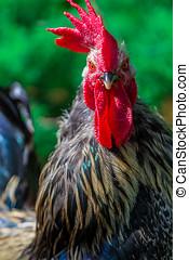 Rural cock portrait