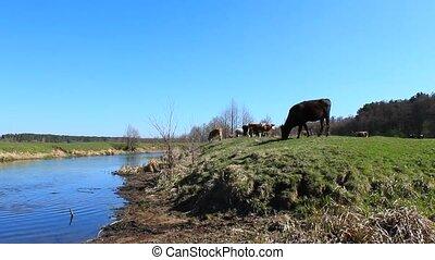 cows drinking water in the river