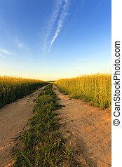 rural, estrada,  Canola