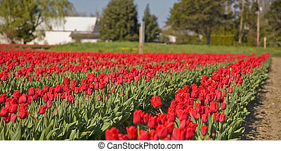 Rural Farm of Red Tulips