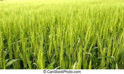 Rural Farm Wheat Field Blows in the Wind