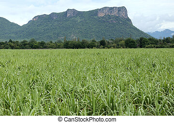 Rural farmland to grow sugarcane.