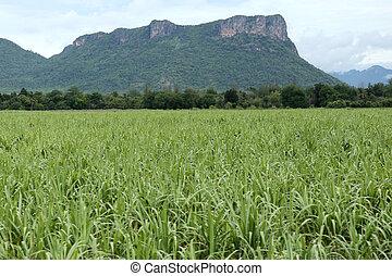 Rural farmland to grow sugarcane.
