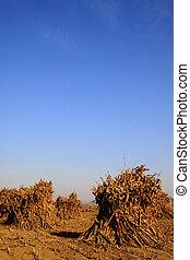 rural field scene