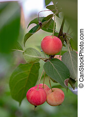 Rural garden with ripe paradise apples harvest time