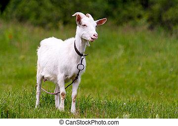 Rural goat grazing in a green field.