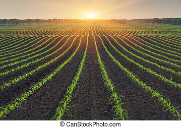 Rural landscape - Corn field. The lines in nature. Morning...