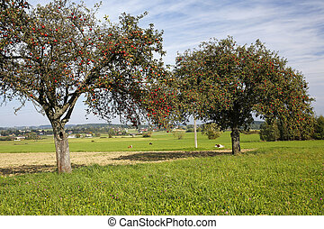 rural, landscape:, pradera, vacas, y, manzana, árboles