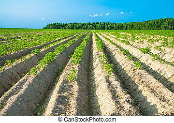 rural landscape with a potato field