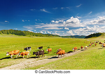 Rural landscape with cows herd