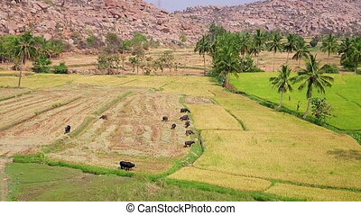 Rural landscape with grazing cattle