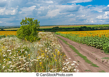 Rural landscape with road among sunflower fields at summer season