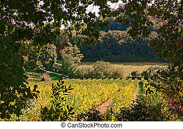 rural landscape with vineyards