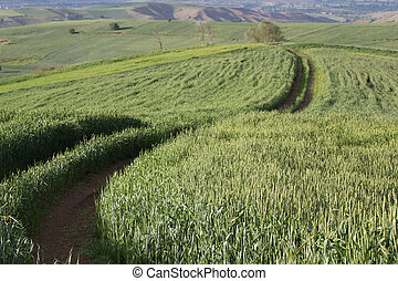 Rural landscape with wheat field
