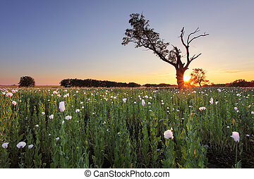 Rural landscape with white poppy and tree at sunset