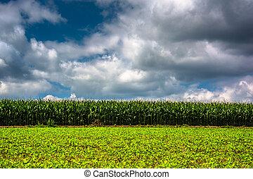 rural, maryland., carroll, campo de maíz, condado