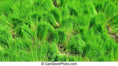rural, plantation, seedlings, riz, indonésie, bali