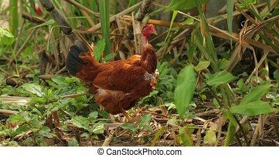 rural, poulet, secteur