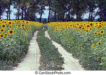 Rural road along the field with yellow sunflowers