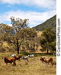 Rural Scene - Rural scene with beef cattle cows and gum...