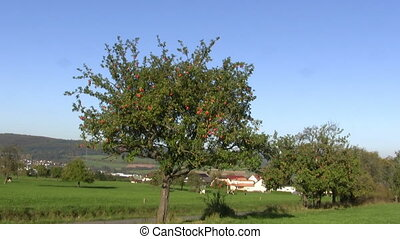 Rural scene with apple tree - Zoom on an apple tree in rural...