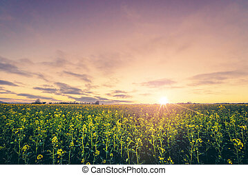 Rural scenery in the sunrise with a yellow rapeseed