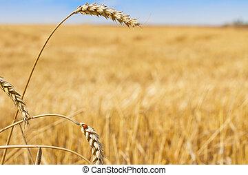 Rural scenery wheat and ladybird - Last straws on stubble...