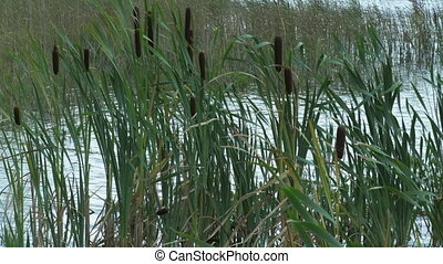 Rushes in lake. Ecosystem concept