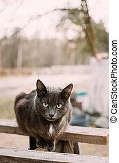 ruso, gato azul, gatito, con, ojos verdes, sentado, en, tablero de madera