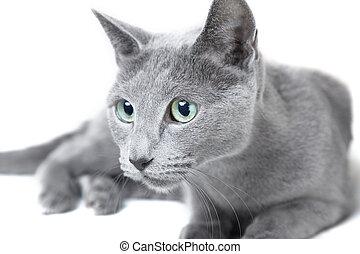 russe, chat bleu